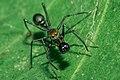 Ant mimicking spider.jpg