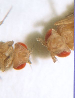 Hox gene - Wild type (left), Antennapedia mutant (right)