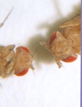 Hox gene - Wild type (left), Antennapedia mutant (right)