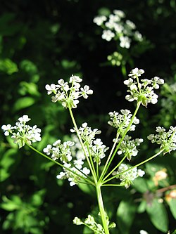 Anthriscus sylvestris inflorescence-side view, May 2008, Prague, Czech Republic.jpg