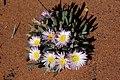 Antimima ventricosa = Ruschia ventricosa (Aizoaceae) (23647447288).jpg