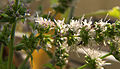 Ants on spearmint flowers 001.jpg