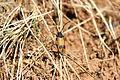 Apalus bimaculatus.JPG