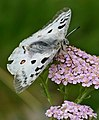 Apollo (Parnassius apollo) (35668770636).jpg