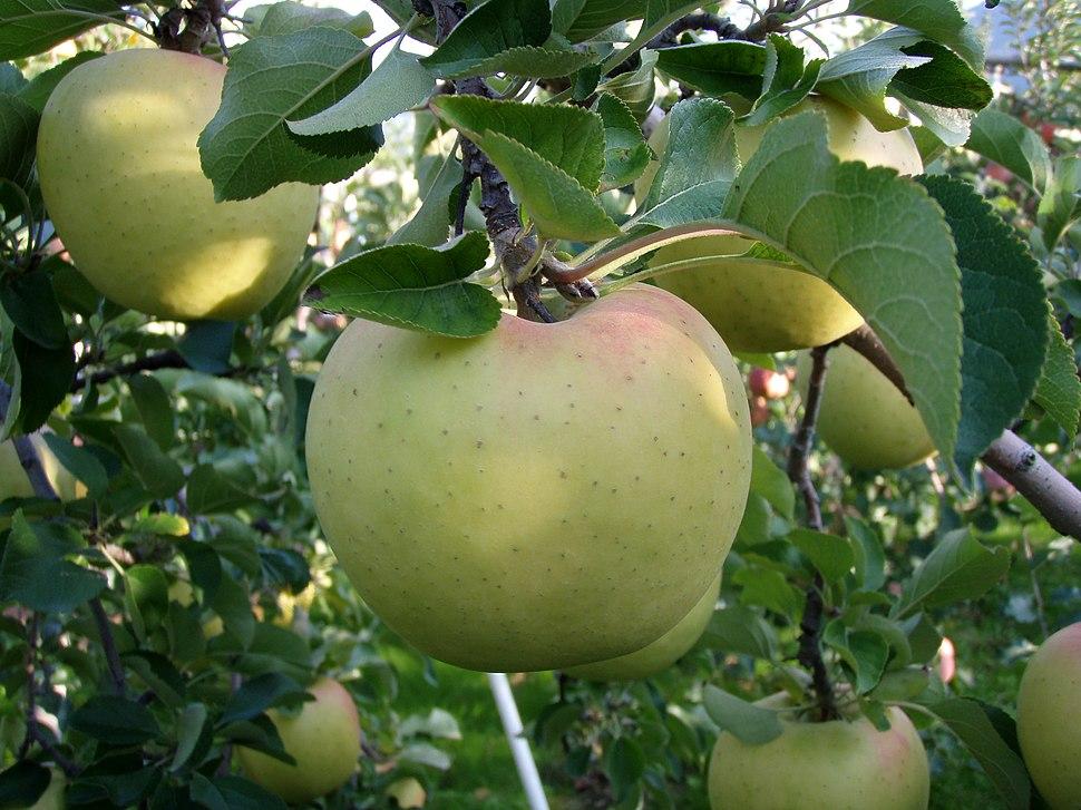 Apple(Gunma-meigestu)04