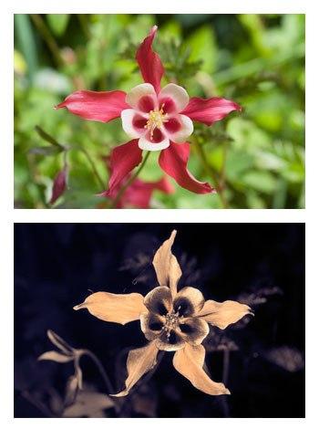Aquilegia caerulea 'Crimson Star' Spectral comparison Vis UV IR cropped