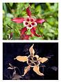 Aquilegia caerulea 'Crimson Star' Spectral comparison Vis UV IR cropped.jpg