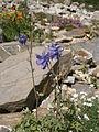 Aquilegia nevadensis 02.jpg