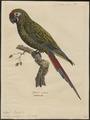 Ara militaris - 1842-1855 - Print - Iconographia Zoologica - Special Collections University of Amsterdam - UBA01 IZ18500109.tif
