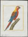 Ara tricolor - 1700-1880 - Print - Iconographia Zoologica - Special Collections University of Amsterdam - UBA01 IZ18500125.tif