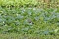 Aramus guarauna (Limpkin) 07.jpg