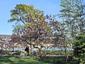 Arboretum Zürich - Magnolia × soulangeana 2014-04-09 16-43-11 (P7800).JPG