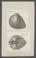 Arca uropigimelana - - Print - Iconographia Zoologica - Special Collections University of Amsterdam - UBAINV0274 076 04 0030.tif