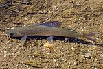 Arctic grayling in stream.jpg