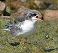 Arctic tern (14643322418).jpg