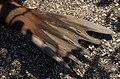 Arctocephalus galapagoensis flipper.jpg
