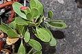 Arctostaphylos nevadensis 5871.JPG