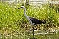 Ardea pacifica -Edithvale Wetland, Melbourne, Australia-8 (2).jpg