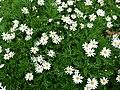 Argyranthemum frutescens 2.jpg
