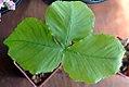 Arisaema triphyllum 4zz.jpg