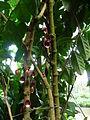 Aristolochia arboreaV.jpg