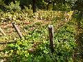 Aristolochia clematitis-Jardin des plantes 02.JPG