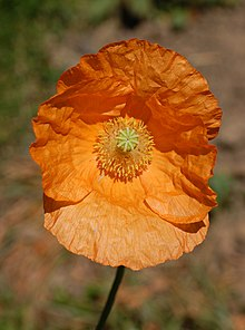Armenian Poppy Papaver lateritium Flower 2000px.jpg