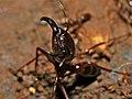 Army Ant (Dorylus sp.) (8537302562).jpg