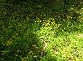 Arnica cordifolia3.jpg