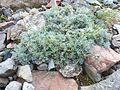 Artemisia nitida - Viote 02.jpg
