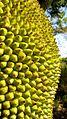 Artocarpus heterophyllus Lam. - Flickr - Alex Popovkin, Bahia, Brazil.jpg