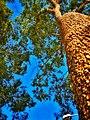 Arvore do pantanal.jpg