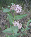 Asclepias speciosa at Peshastin Pinnacles State Park Chelan County Washington 1.png