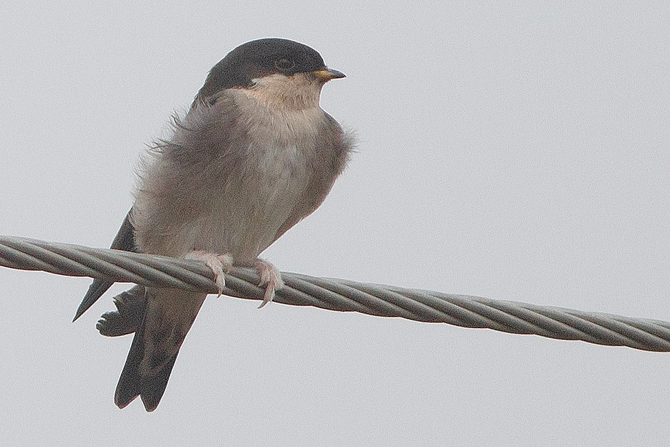 Asian House Martin East district Sikkim India 24.09.2018