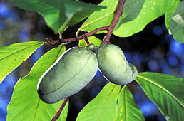 Asimina triloba in fruit