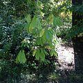 Asimina triloba New York Botanical Garden.jpg