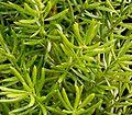Asparagus densiflorus 09.jpg