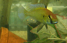 "Astatotilapia sp.  ""Chilingali"" .jpg"