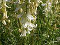 Astragalus drummondii (3307772257).jpg