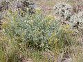 Astragalus drummondii (3308604212).jpg