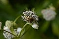 Astrantia major D.jpg