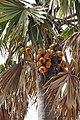 Atakora-Borassus aethiopum (5).jpg