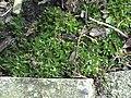 Atrichum undulatum (1).jpg