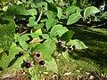 Atropa belladonna (Tollkirsche).JPG