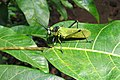 Aularches miliaris - Northern Spotted Grasshopper - at Peravoor.jpg