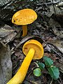 Aureoboletus auriflammeus (Berk. & M.A. Curtis) G. Wu & Zhu L. Yang 695281.jpg