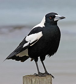 Australian Magpie 1, jjron, 5.07 highlight.jpg
