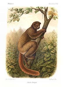 Woolly Lemur Wikipedia