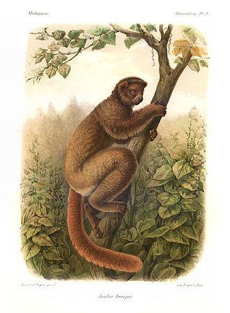 Eastern woolly lemur - Image: Avahi laniger Grandidier