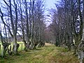 Avenue of coppiced Beeches, Ardmore - geograph.org.uk - 1587481.jpg